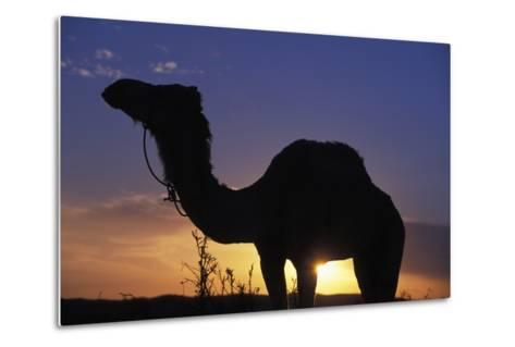 Silhouetted Camel at Sunset-Design Pics Inc-Metal Print