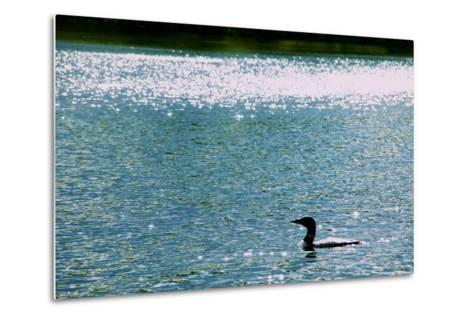 A Common Loon, Gavia Immer, Swimming in a Lake Shimmering with Reflections of Sunlight-Heather Perry-Metal Print