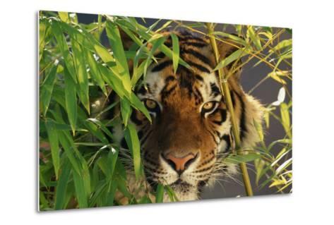 Tiger Sitting among Bamboo Leaves-DLILLC-Metal Print
