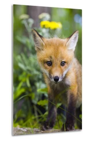 Red Fox Kit in Spring Wildflowers Minnesota Captive-Design Pics Inc-Metal Print