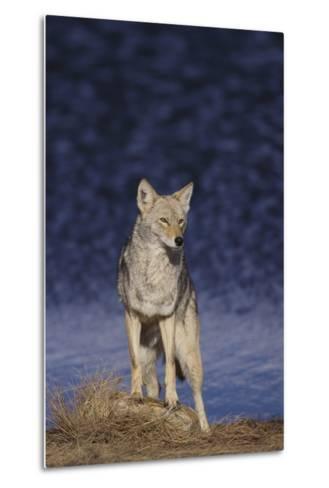 Coyote-DLILLC-Metal Print