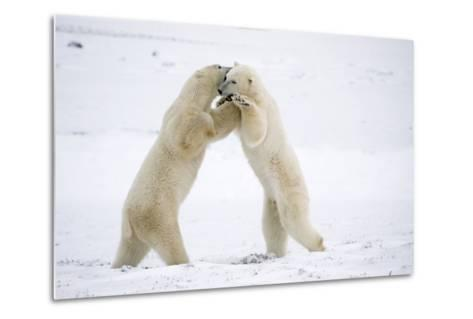 Polar Bears on Hind Feet Play Fighting at Churchill, Manitoba, Canada-Design Pics Inc-Metal Print