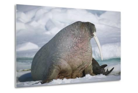 Walrus with a Broken Tusk-DLILLC-Metal Print