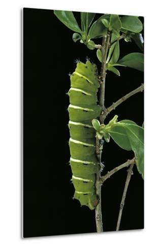 Rothschildia Jacobaeae (Silkmoth, Saturniid Moth) - Caterpillar-Paul Starosta-Metal Print