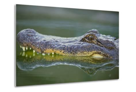 Alligator-DLILLC-Metal Print