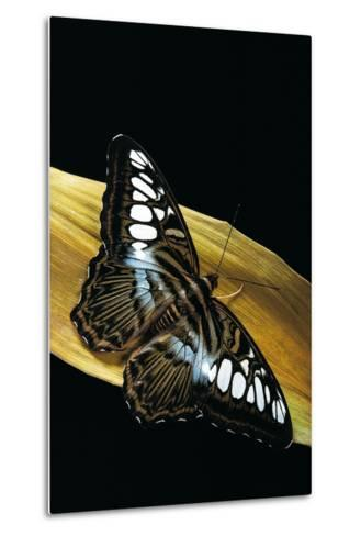 Parthenos Sylvia (Clipper Butterfly)-Paul Starosta-Metal Print