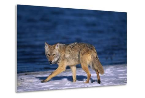 Coyote Walking in Snow next to Water-DLILLC-Metal Print