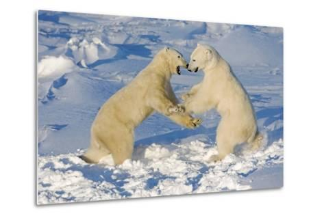 Polar Bears Wrestling and Play Fighting at Churchill, Manitoba, Canada-Design Pics Inc-Metal Print