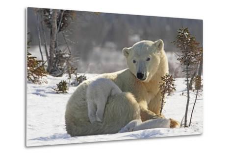 Mother Polar Bear (Ursus Maritimus) Playing with Her Cub-Design Pics Inc-Metal Print