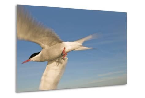 Closeup of Arctic Tern in Flight over Bristol Bay, Alaska During Summer-Design Pics Inc-Metal Print