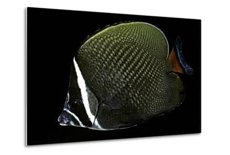 Chaetodon Collare (Redtail Butterflyfish, Collared Butterflyfish)-Paul Starosta-Metal Print