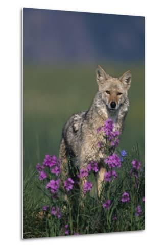 Coyote in Field with Wildflowers-DLILLC-Metal Print