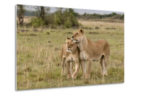 Two Lionesses, Panthera Leo, Greeting Each Other with Head Rubbing-Sergio Pitamitz-Metal Print