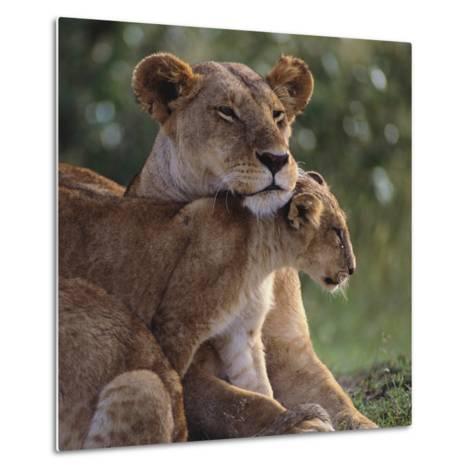 Lion Cub Nuzzling Mother-DLILLC-Metal Print