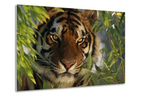 Tiger Sitting among Bamboo Leaves-DLILLC-Metal Print