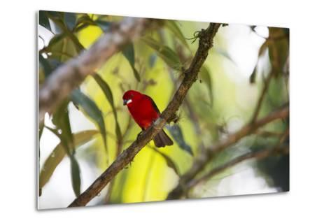 A Brazilian Tanager, Ramphocelus Bresilius, Perches in a Tree with a Tropical Backdrop-Alex Saberi-Metal Print