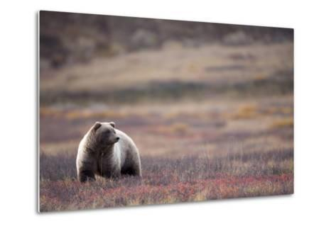 Scenic View of a Grizzly Bear Standing in the Fall Tundra, Denali National Park, Interior Alaska-Design Pics Inc-Metal Print
