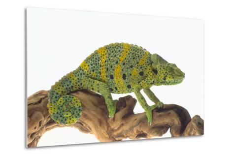 Meller'schameleon-DLILLC-Metal Print