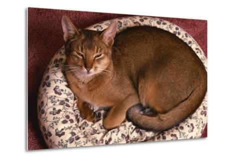 Abyssinian Ruddy Cat Lying on Cushion-DLILLC-Metal Print