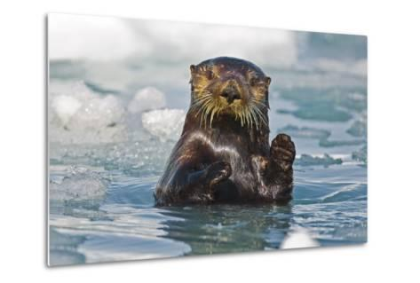 A Sea Otter Swimming Amongst Sea Ice in Harriman Fjord, Prince William Sound, Southcentral Alaska-Design Pics Inc-Metal Print