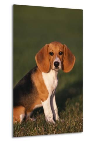 Beagle in Grass-DLILLC-Metal Print