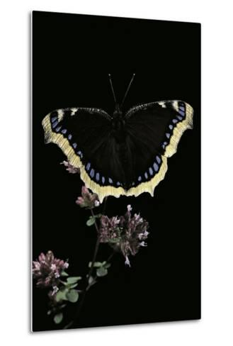 Nymphalis Antiopa (Mourning Cloak Butterfly, Camberwell Beauty)-Paul Starosta-Metal Print
