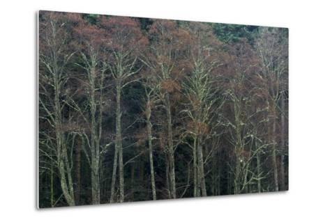 A Grove of Trees in the San Juan Islands-Michael Melford-Metal Print