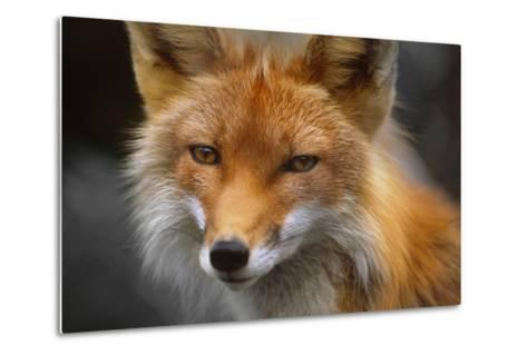 Captive: Close Up of Red Fox at the Alaska Wildlife Conservation Center-Design Pics Inc-Metal Print