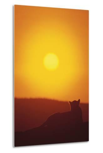 Lion at Sunset-DLILLC-Metal Print
