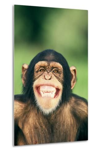 Grinning Chimpanzee-DLILLC-Metal Print