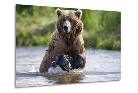 Grizzly Chasing Salmon in River During Summer Months in Alaska-Design Pics Inc-Metal Print