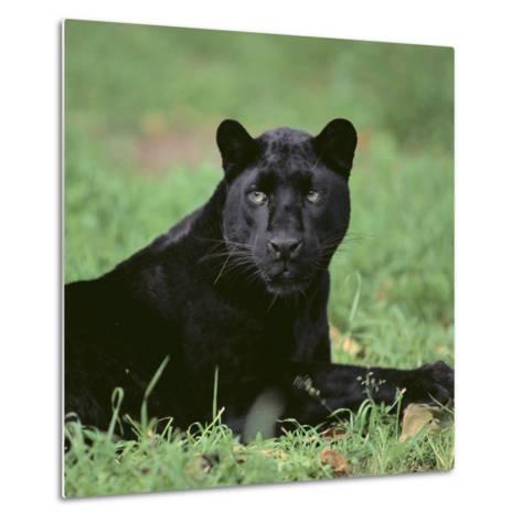 Black Panther Sitting in Grass-DLILLC-Metal Print