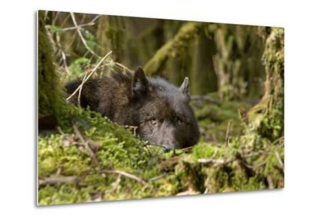 Wolf Rests in a Mossy Bed on the Forests Floor of the Tongass National Forest in Southeast Alaska-Design Pics Inc-Metal Print