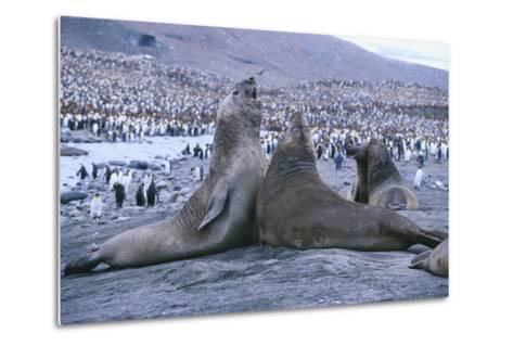 Southern Elephant Seals-DLILLC-Metal Print