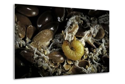 Fungus Moth or Tineid Moth Caterpillar-Paul Starosta-Metal Print