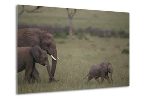 Baby Elephant Taking the Lead-DLILLC-Metal Print