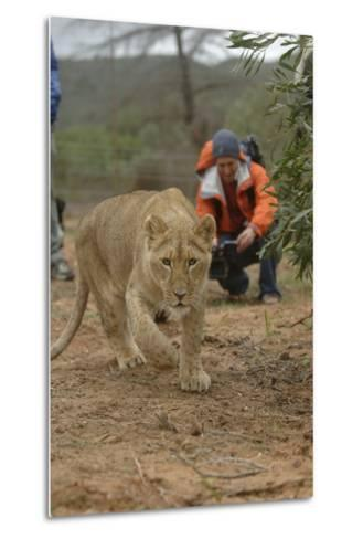 A Captive Lioness Approaches the Camera in South Africa-Keith Ladzinski-Metal Print