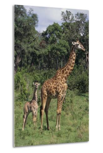 Giraffe Parent and Young-DLILLC-Metal Print