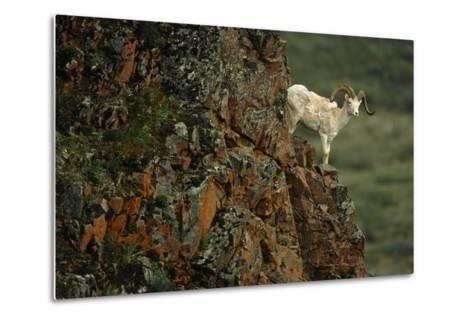 Dall Sheep Ram Perched on Rock Ledge Denali Np in Ak Summer-Design Pics Inc-Metal Print