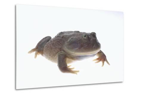 Budgett's Frog-DLILLC-Metal Print