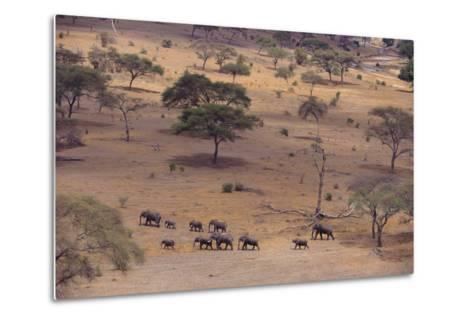 African Elephants Walking in Savanna-DLILLC-Metal Print