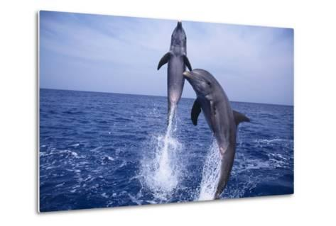 Bottlenosed Dolphins Leaping from Water-DLILLC-Metal Print