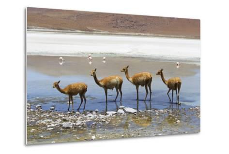 Vicunas Standing in a Row at a Lagoon-Mike Theiss-Metal Print