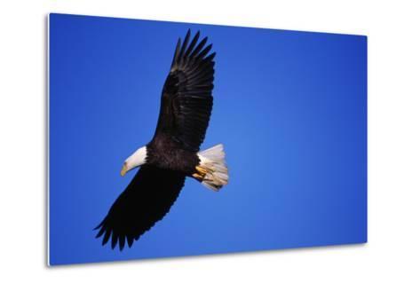 Bald Eagle Hunts, Nova Scotia-Paul Souders-Metal Print