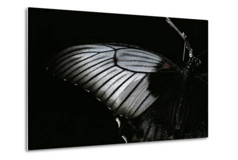 Papilio Lowi (Great Yellow Swallowtail, Asian Swallowtail) - Wings Detail-Paul Starosta-Metal Print