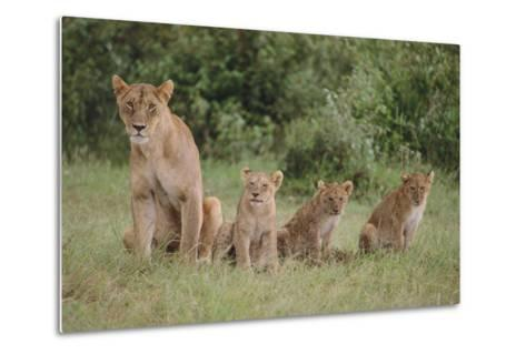 Lioness and Cubs in Grass-DLILLC-Metal Print