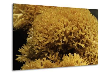 Ramaria Flavescens (Coral Fungus)-Paul Starosta-Metal Print
