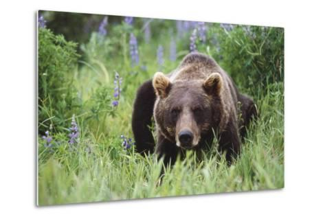 Captive: Brown Bear Laying Amongst Lupine Wildflowers at the Alaska Wildlife Conservation Center-Design Pics Inc-Metal Print