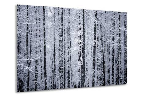 Snowcovered Cottonwood Trees Girdwood Southcentral Ak Winter-Design Pics Inc-Metal Print