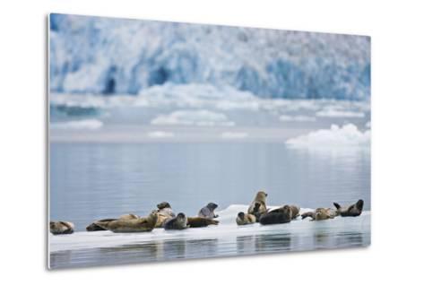 Harbor Seals Rest on an Iceberg with Dawes Glacier-Design Pics Inc-Metal Print